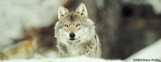 ドイツのオオカミ