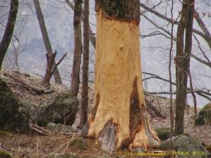 成木のカワハギ