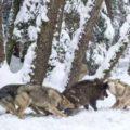 イノシシを狩るオオカミ