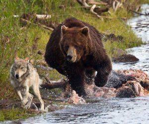 オオカミを追うクマ