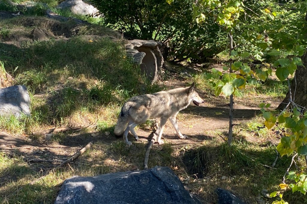 散策するオオカミ